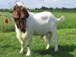 boer goat for sale