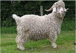 angora goat for sale