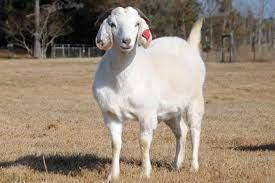 white savanna goat for sale