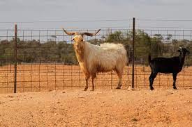australian rangeland goats for sale