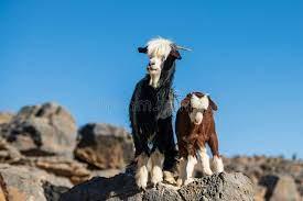 jabal akhdar goat for sale