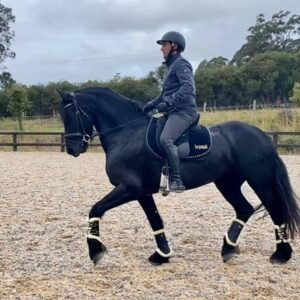 Athletic Friesian For Sale