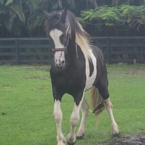 Barock Pinto Colt For Sale in South Africa