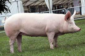 large white pig for sale
