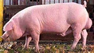 landrace pig for sale