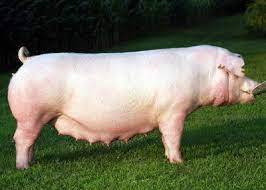chester white pig for sale