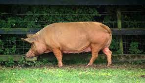tamworth pig for sale