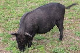 tibetan pig for sale